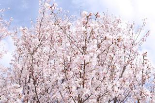 ピンクの花の木の写真・画像素材[1080156]