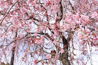 ピンクの花の木の写真・画像素材[1080179]
