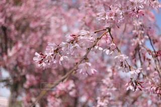 ピンクの花の木の写真・画像素材[1080183]