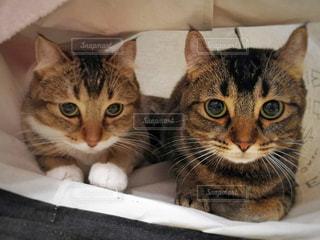 横になって、カメラを見ている猫の写真・画像素材[1080414]