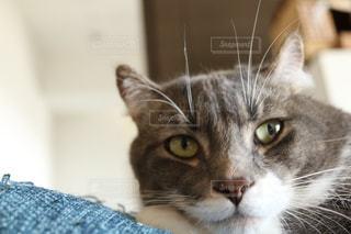 横になって、カメラを見ている猫の写真・画像素材[1083576]