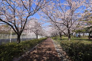 満開の桜の写真・画像素材[1094105]