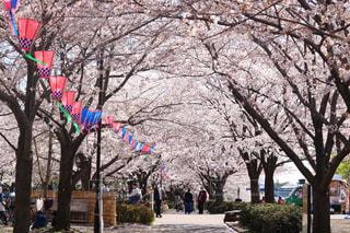 桜のトンネルの写真・画像素材[1094106]