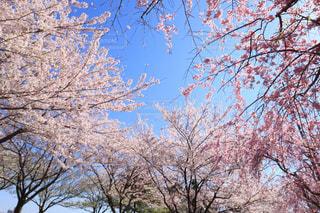 千本桜の写真・画像素材[1094109]