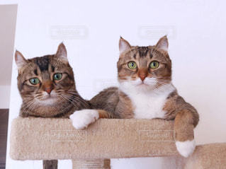 テーブルの上に座って猫の写真・画像素材[1114562]
