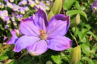 植物の紫色の花の写真・画像素材[1136748]
