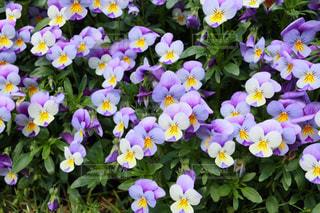 近くに紫の花のアップの写真・画像素材[1136749]