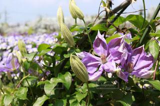 植物の紫色の花の写真・画像素材[1136752]
