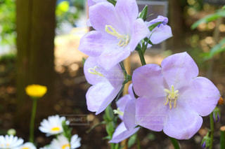 紫色の花一杯の花瓶の写真・画像素材[1138470]