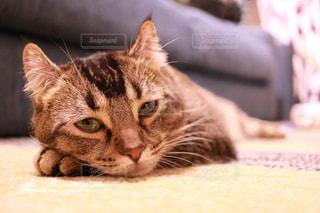 横になって、カメラを見ている猫の写真・画像素材[1145100]