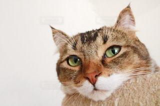 カメラを見ている猫の写真・画像素材[1151118]