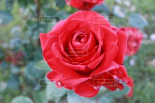 花のように赤いバラの写真・画像素材[1182182]