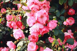 近くの花のアップの写真・画像素材[1182184]