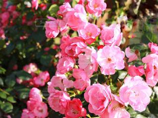 近くにピンクの花の束のアップの写真・画像素材[1182188]