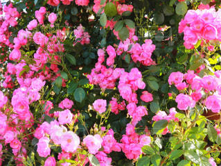 近くの花のアップの写真・画像素材[1182190]