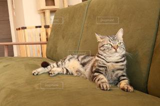 ソファで横になっている猫の写真・画像素材[1189105]