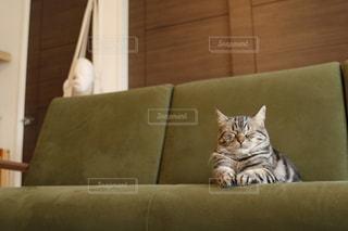 猫がソファーに座っての写真・画像素材[1189108]