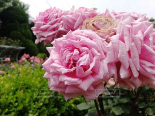 近くの花のアップの写真・画像素材[1205605]