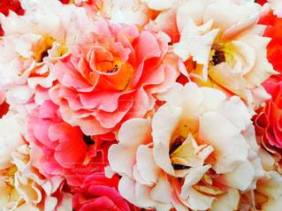 ピンクと白の写真・画像素材[1205606]
