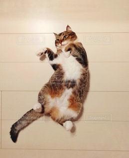 カウンターに座っている猫の写真・画像素材[1242657]
