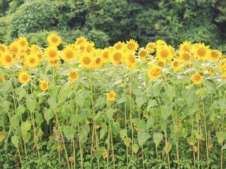 フィールド内の黄色の花の写真・画像素材[1331195]