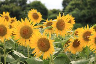 黄色の花の束の写真・画像素材[1331203]