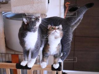 カウンターに座っている猫の写真・画像素材[1426048]