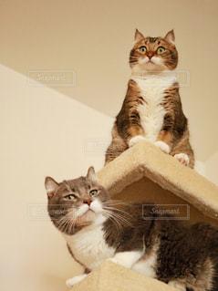 鏡の前で座っている灰色と白猫の写真・画像素材[1426053]