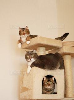 テーブルの上に座って猫の写真・画像素材[1426054]