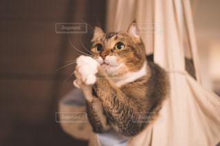 カメラを見ている猫の写真・画像素材[1685343]
