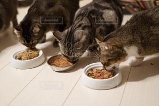 ボウルから食べる猫の写真・画像素材[1761707]