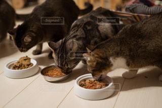 ボウルから食べる猫の写真・画像素材[1761710]