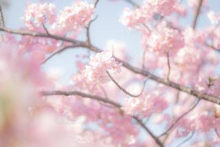 ピンクの花の木の写真・画像素材[1827359]