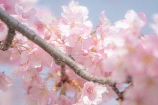 ピンクの花の木の写真・画像素材[1827360]