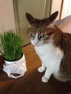 テーブルの上に座って猫の写真・画像素材[957153]