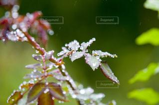 雨の写真・画像素材[518640]