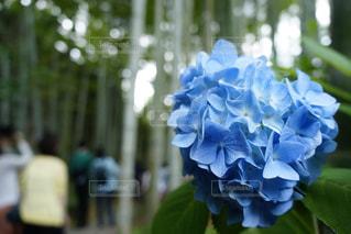 紫陽花の写真・画像素材[586939]