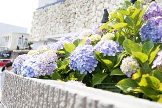 紫陽花の写真・画像素材[586940]