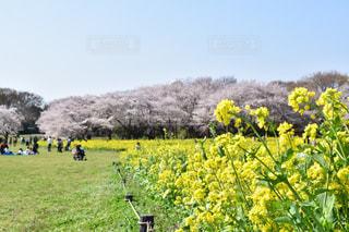 桜 - No.517963