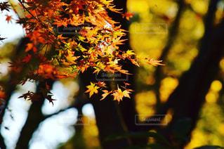 紅葉 - No.517968