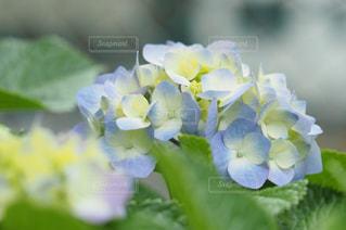 紫陽花の写真・画像素材[553628]