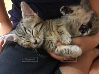 抱っこで寝ているマンチカンの子猫の写真・画像素材[1412992]