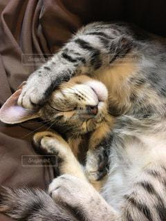 マンチカンの子猫の写真・画像素材[2054031]