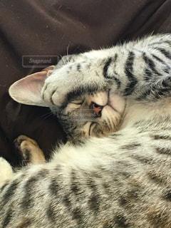 昼寝中のマンチカンの子猫の写真・画像素材[2054033]