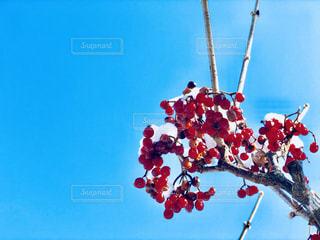 赤いリンゴの写真・画像素材[1139225]