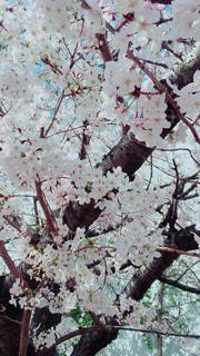 桜の写真・画像素材[1095542]