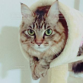 カメラを見ている猫の写真・画像素材[1750390]