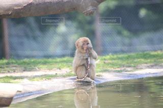 猿の写真・画像素材[530484]