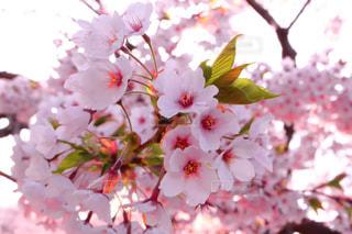 花の写真・画像素材[520458]