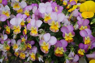 花の写真・画像素材[520812]